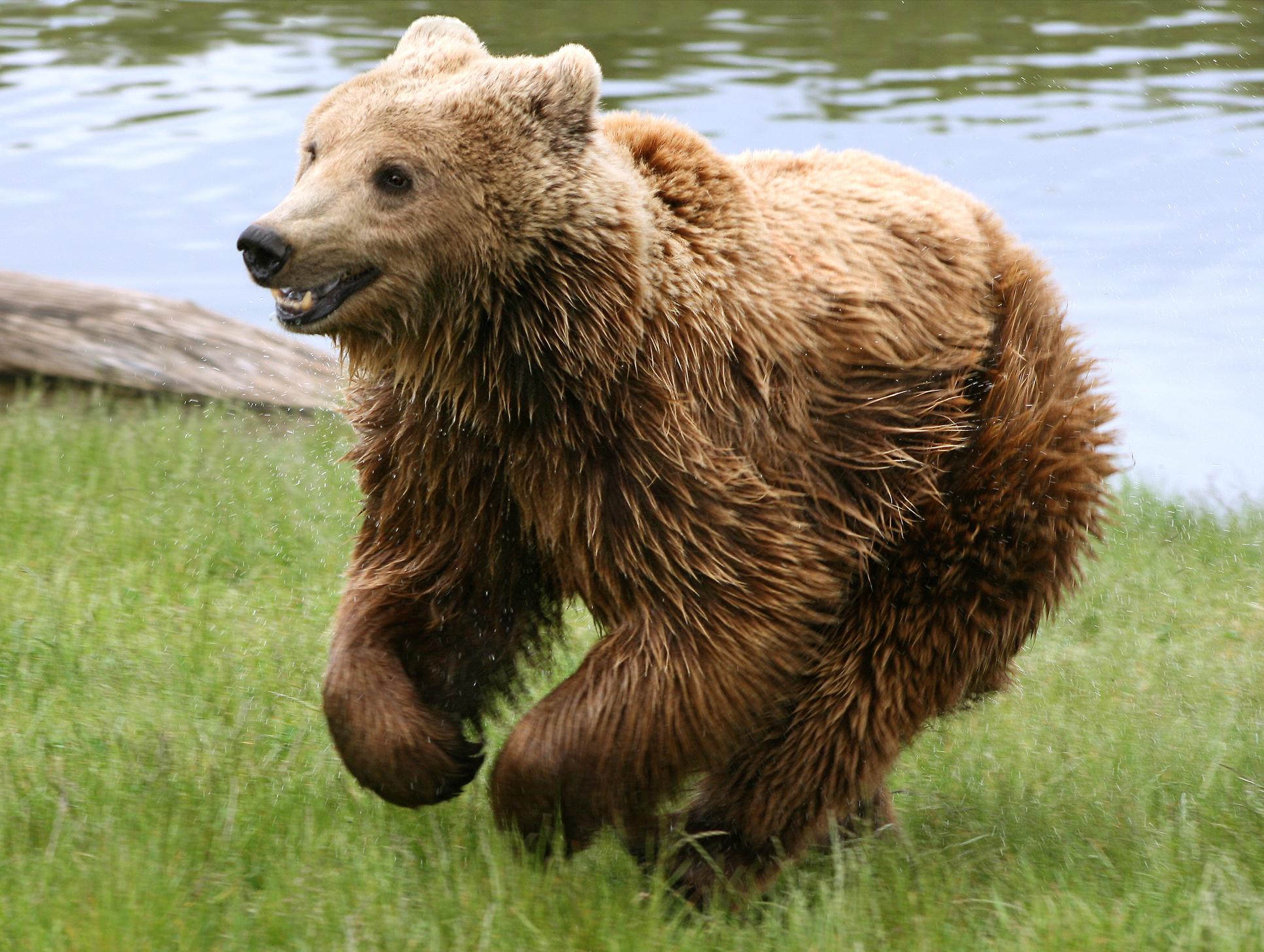 Brown_bear_(Ursus_arctos_arctos)_running