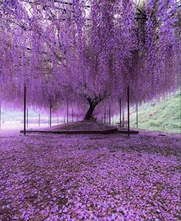 Wisteria vine in Japan - over 150 years of age