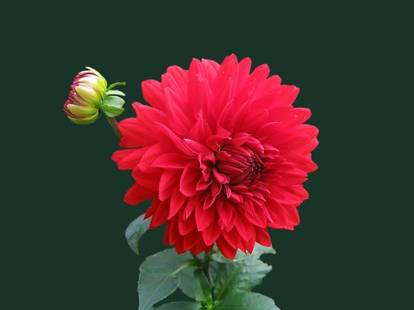 2020.06.28 - from Tania Gabriele SunDay post - ushers new beginnings - Mars-Ares sextile Saturn-Kronos creates strong surge of energy - HD red chrysanthemum