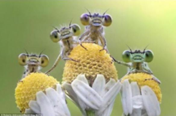 Look , a family photo - it is Matthew, Mark, Luke and John - Ἀκρίδες or crickets on daisies or chamomile