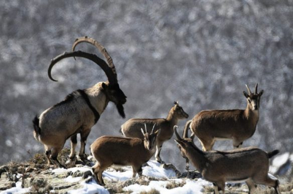 Wild goats in Armenia.-Photo A. Malkhasyan - Dec. 2008 - Megri District - South Eastern Armenia - Arevik National Park . 768x510